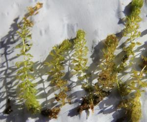 """富锦国家湿地公园发现濒危植物""""貉藻"""""""