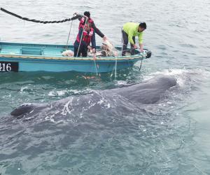 """鲸类动物""""有家难归""""多种原因导致搁浅"""